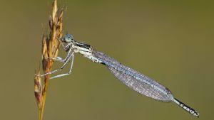 Flodflickslända  (Platycnemis pennipes)