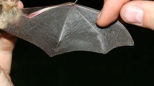 En hand visar upp en lurvig fladdermusvinge och pekar på texturen på vingen.