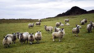 För fåren är gräset kanske lika grönt på Irland som på Nordirland. De här fåren betar i County Donegal i Irland 2.3.2019.