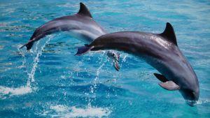 Två hoppande delfiner