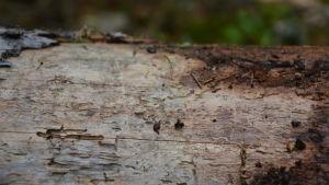 Nybarkad naken trädstam med spår av insektliv.