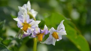 Blommande potatisstjälke av sorten Timo