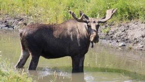 En fullvuxen älgtjur vadar i en grund flod.