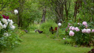 Pioner i rosa och vitt. Mellan buskarna går grå höns och en brunorange tupp. Sommar.