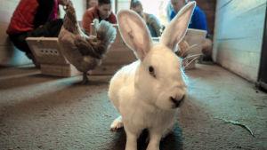 En kanin står på golvet inne i ett stall, med fyra personer i bakgrunden.