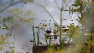 Två änder sitter på en bit skräp i en damm.