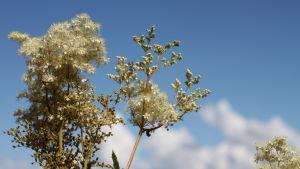 En vit blomma i närbild mot blå himmel.