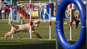 Ville koira agilityn sm-kisoissa