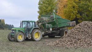 En traktor med sockerbetor i släpet.