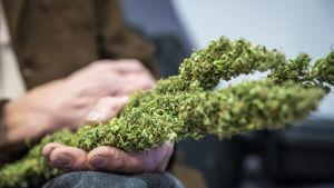 hannu Hyvönen pitää Kannabis-kasvia kädessään käräjäoikeus salin edessä.