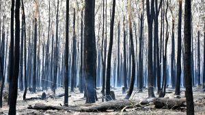 Svarta trädstammar fotograferades på söndagen efter en skogsbrand i Old Bar, 350 kilometer norr om Sydney.