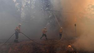 Palomiehet ruiskuttavat vettä puihin Australiassa.