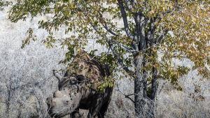 En spetsnoshörning i en nationalpark i Namibia i Afrika.