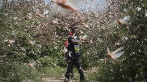 En jordbrukare försöker skrämma bort gräshoppor från sin mark.