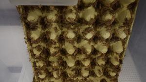 Många gräshoppor somklättrar på en stor fyrkantig äggkartong.