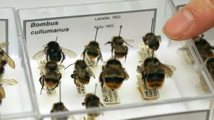 Kuvassa on näytelaatikkoon säilöttyjä mehiläisiä.