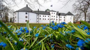 Blommande scillor framför Åbo slott