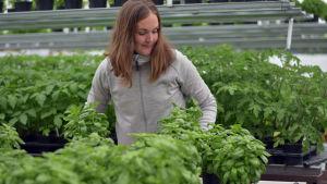 En kvinna lyfter på krukor i ett växthus.