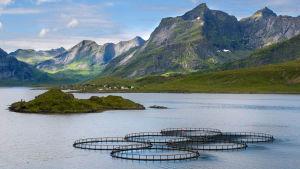 Fiskodling vid Lofoten,  Norge