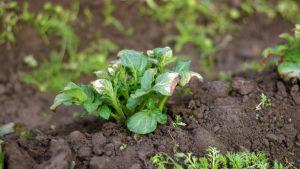 En potatisplanta som skadats av frosten.