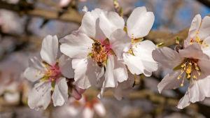 Ett bi i en mandelblomma. Mandelodling i Central Valley, Kalifornien