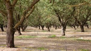 Mandelodling i Kalifornien