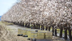 Mandelträd i Kalifornien väntar på att bli pollinerade av bin