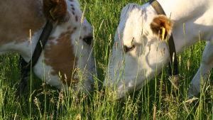Kor betar i Hitis.