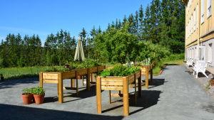 En bild på en grönskande handikappanpassad trädgård med upphöjda odlingsbänkar.