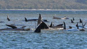 Sammanlagt 470 strandade grindvalar har hittats sedan måndag på Tasmaniens västkust.