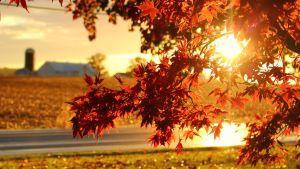 En lönn med orange löv. I bakgrunden syns ett hus. Solen skiner.