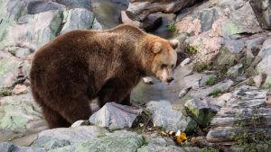En björn vid en liten bäck med tungan ute.