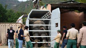 Elefanten Kaavan flyttas av djurrättsaktivister från ett zoo i Pakistan till ett reservat i Kambodja