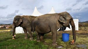 Elefanterna Bambi och Kama äter bröd.