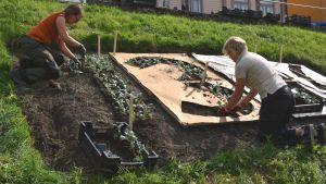 Siffran tre i schablon används för att plantera siffran tre. Trädgårdsmästaren planterar silverek.