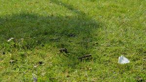 Den vitkindade gåsens bajs i närheten av fågelfjäder.
