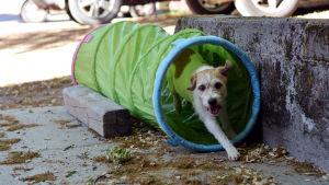 En Parson russell terrier springer igenom en leksakstunnel.