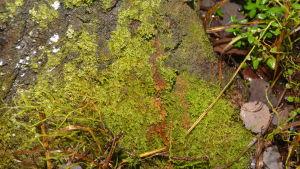 Mossan på en stam har blivit brun och det betyder att en flygekorre har urinerat på stammen.