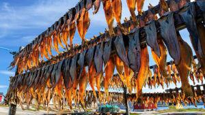 Fisk torkas på Grönland.