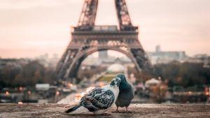 Pulut kuhertelevat Eiffel-tornin edustalla.