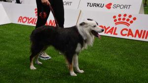 En hund som deltar i VM i Agility i Åbo.