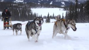 Hundar drar skidåkar uppför snöig sluttning.