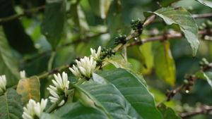 Kaffebuskens vita spretiga blommor och gröna bär.