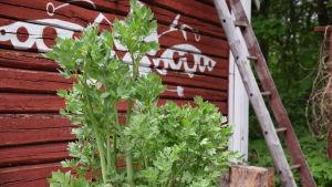 Libbsticka som växer i Strömsös trädgård