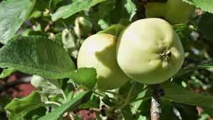 två ljusgröna äpplen hänger på en gren