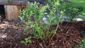 Nyplanterat buskblåbär med täckbark på marken runt stammarna