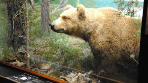 Björnmonter i Biologiska muséet i Åbo.