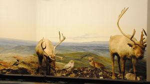 Lappländskt landskap med två renar, några fåglar och en räv i en museimonter.