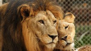 Ett lejonpar i en djurpark i Karachi, Pakistan i september 2014