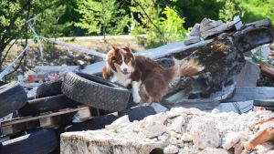 Hund söker människa i ruiner